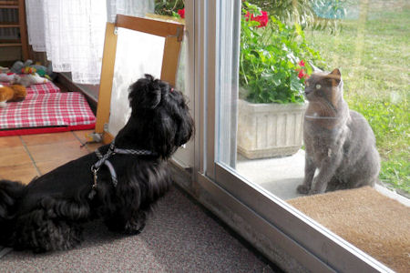 shih tzu en contemplation devant le chat