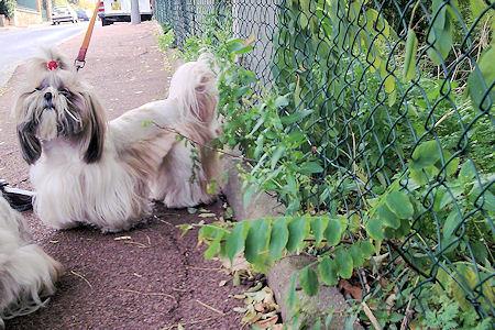 cães e cerca